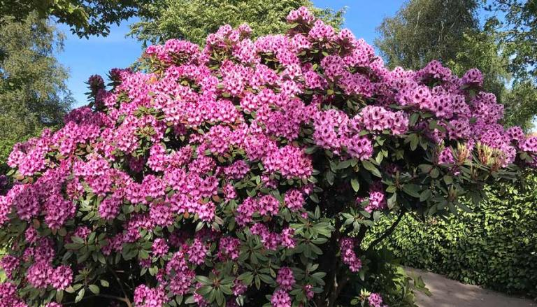 rhododendron med